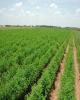 ارزن، گیاهی ایدهآل با ارزش اقتصادی زیاد برای کشاورزان