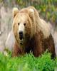 خرس گرفتار در تلهسیمی آزاد شد