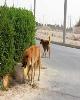 تکذیب کشته شدن یا سوزاندن ۳۰۰ سگ در اهواز