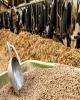 واردات بیش از 5 میلیون تن ذرت دامی در 8 ماه