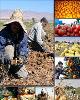 ممنوعیت ورود ۴محصول کشاورزی ایران به عراق