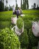 پرداخت ۱۱۷میلیارد تومان از مطالبات چایکاران/ تولید چای خشک به ۱۹هزار تن رسید
