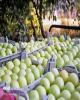 تصمیمات مهم ستاد تنظیم بازار برای باغداران سیب