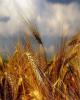 افزایش قیمت خرید تضمینی گندم در لایحه بودجه سال۹۹ لحاظ شود