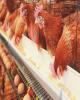 مرغداران مجوزدار میتوانند عضو تعاونیهای تولیدی شوند