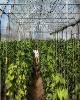 تنوع محصولات گلخانهای موجب افزایش گردش نقدینگی میشود