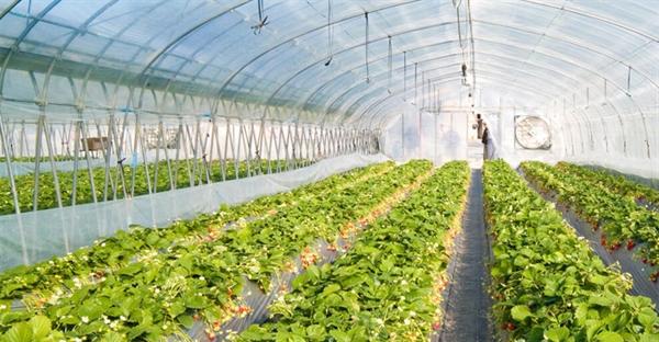 حمایت بانک کشاورزی از احداث و تجهیز ۱۶۶۰ واحد گلخانه در سال ۱۳۹۹
