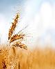 پرداخت کامل مطالبات گندمکاران توسط بانک کشاورزی
