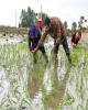 کشت برنج غیر از گیلان و مازندران ممنوع شد