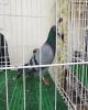 کبوتر چاهی ۱۲ هزار دلار در بصره فروش رفت