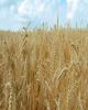 گندمکاران : بانک کشاورزی پولمان را زودتر بدهد